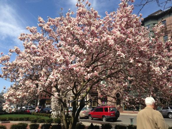 Beautiful Magnolia Tree on Boylston
