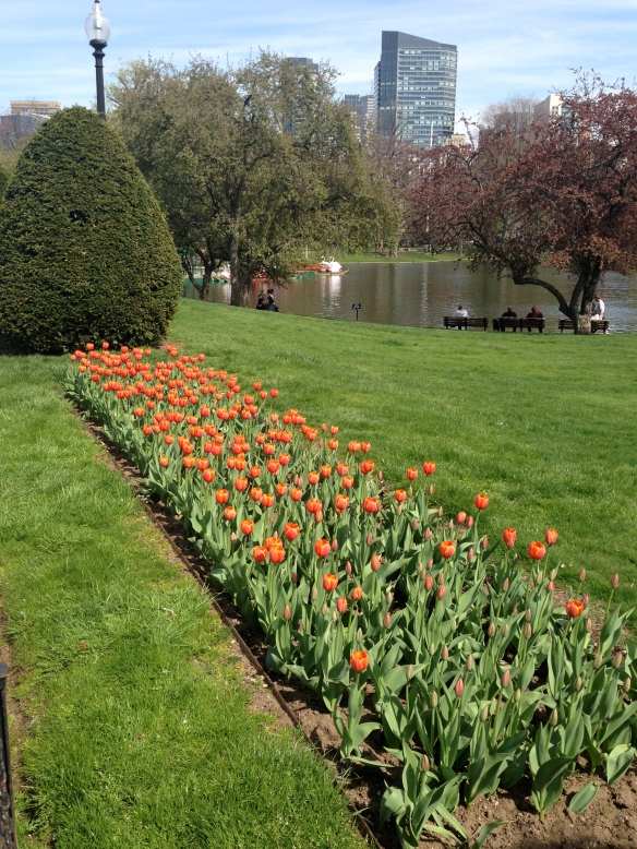 Tulips in Boston Gardens about to burst into full bloom