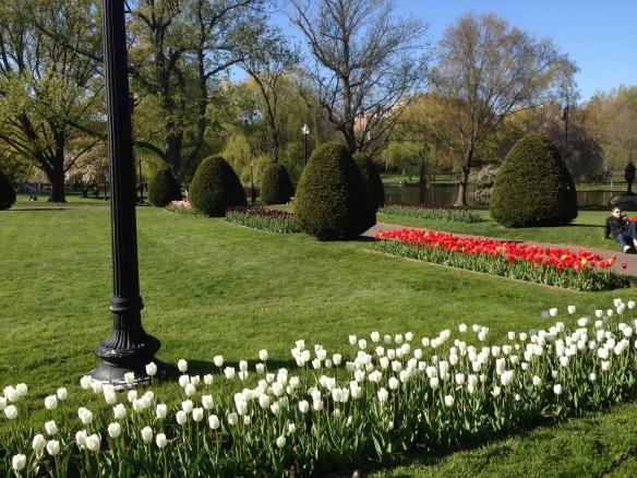 Beautiful tulips in the Boston Public Gardens