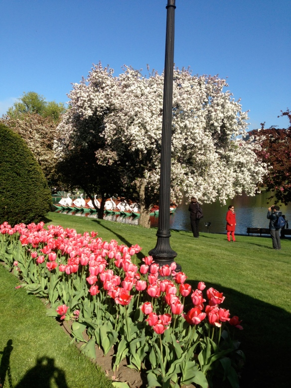 Tulips in full bloom with the swan boats behind in the Boston Public Gardens.