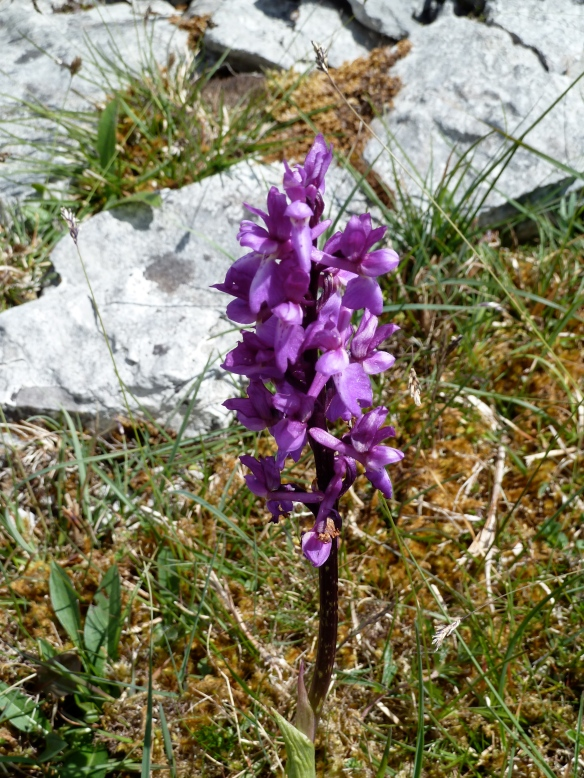 Orchid on the Burren