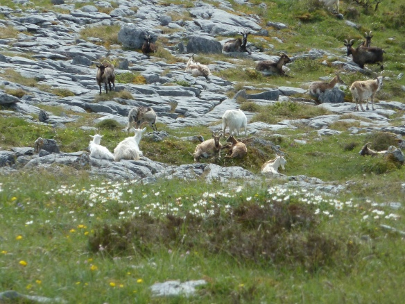 A herd of feral goats