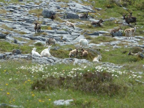 A herd of feral goats